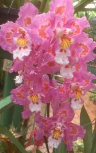 Orquídeas en Finca Drácula